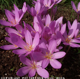 COLCHICUM NANCY LINDSAY (autumnale pannonicum)