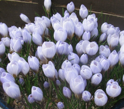 crocus sativus anbauen