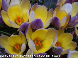 2c89413cb079a3 Pottertons Nursery - Crocus chrysanthus  Advance