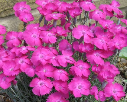 Pottertons Nursery - Dianthus 'Whatfield Magenta'