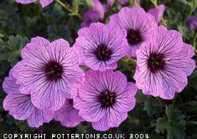 pottertons nursery geranium cinereum 39 ballerina 39. Black Bedroom Furniture Sets. Home Design Ideas