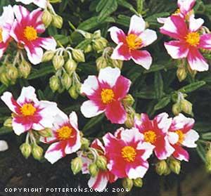 Fleur de Martine 6/12/2015 trouvée par Pitchoune - Page 2 Helianthemum-Raspberry-Rip